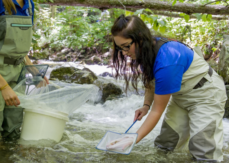 4_Tennessee Aquarium Reintroduction Assistant Shannon P. Murphy prepares to release a Southern Appalachian Brook Trout into Stony Creek