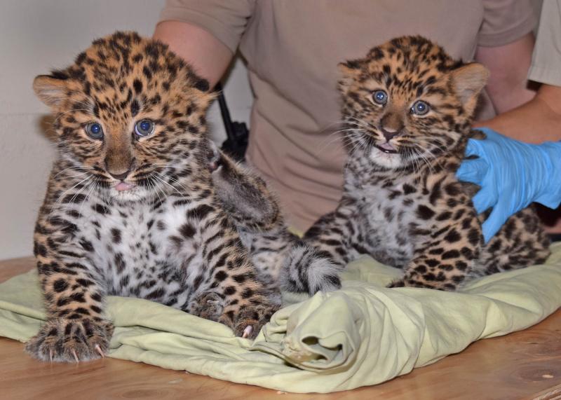 Amur leopard cubs-2