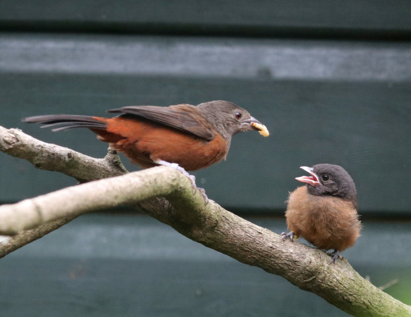 1_Brazilian Tanager mum feeds chick at Paradise Park in Hayle