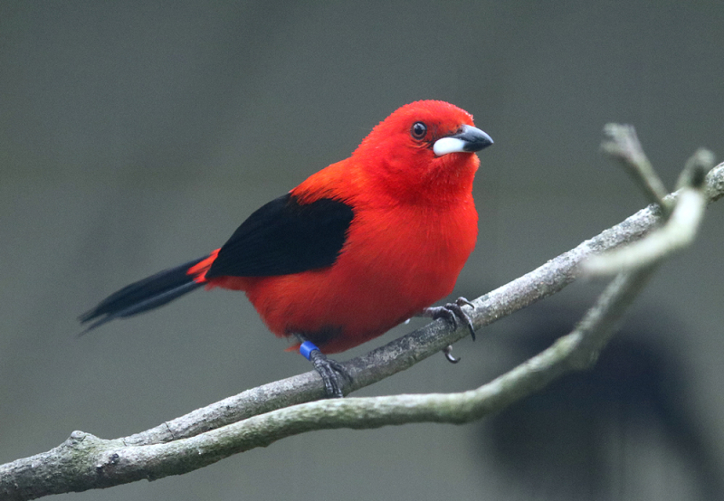 4_Brazilian Tanager male in full colour at Paradise Park Hayle