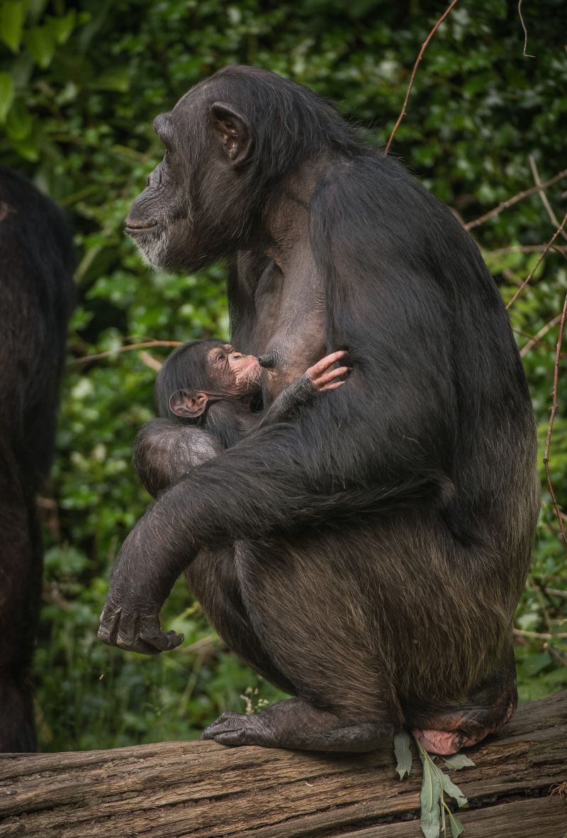 5_The first chimpanzee to be born in nearly a decade at Chester Zoo has arrived to doting mum ZeeZee (10)