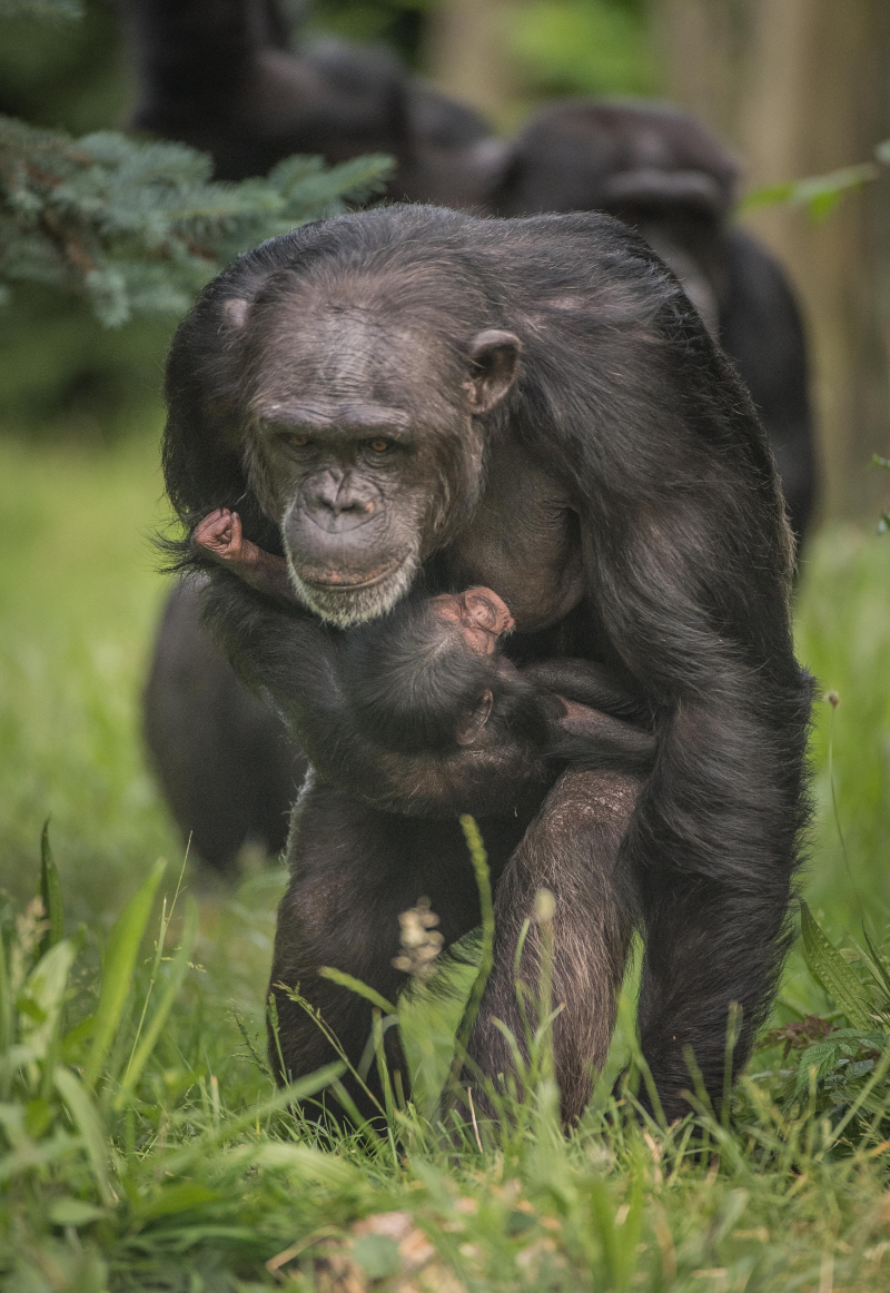 8_The first chimpanzee to be born in nearly a decade at Chester Zoo has arrived to doting mum ZeeZee (22)