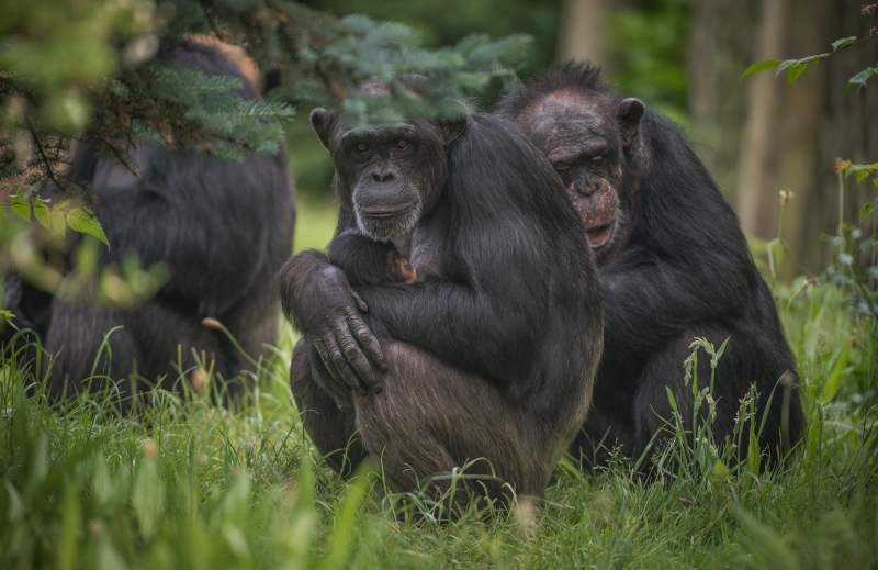 10_The first chimpanzee to be born in nearly a decade at Chester Zoo has arrived to doting mum ZeeZee (17)