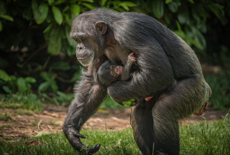 12_The first chimpanzee to be born in nearly a decade at Chester Zoo has arrived to doting mum ZeeZee (31)