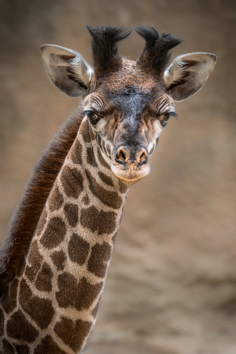 1_Female Giraffe Calf Photo by Jamie Pham 4