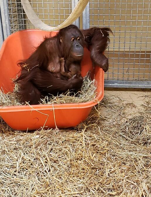Photo 1 Virginia Zoo Baby Orangutan