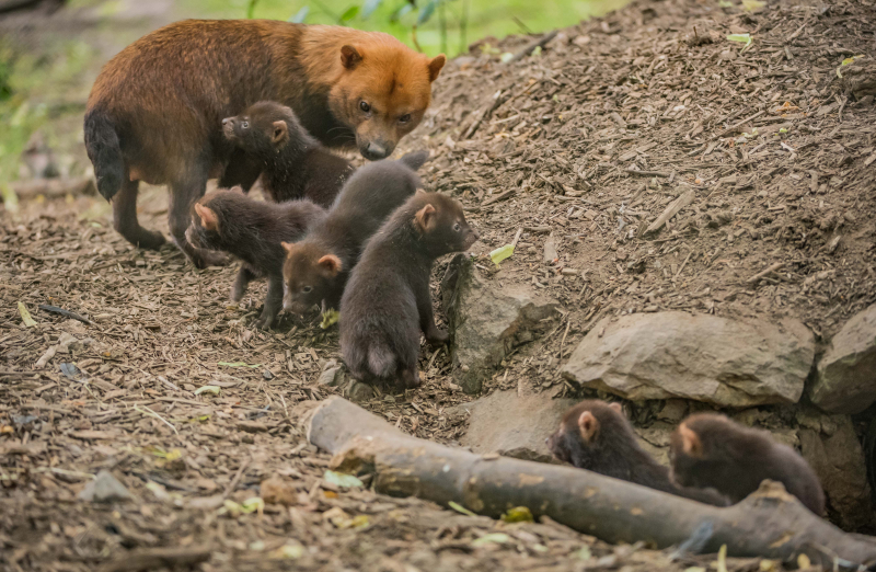 Puppy love! Biggest ever bush dog litter born at Chester Zoo emerges from den (21)