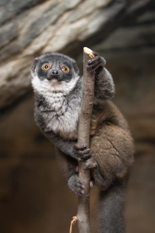 4_Buttercup_mongoose lemur_3.5 months old_Ethan Riepl Saint Louis Zoo_sm