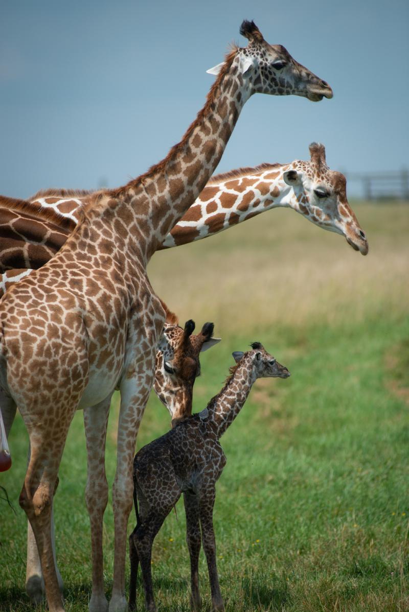 Giraffe Calf 7303 - Grahm S. Jones  Columbus Zoo and Aquarium