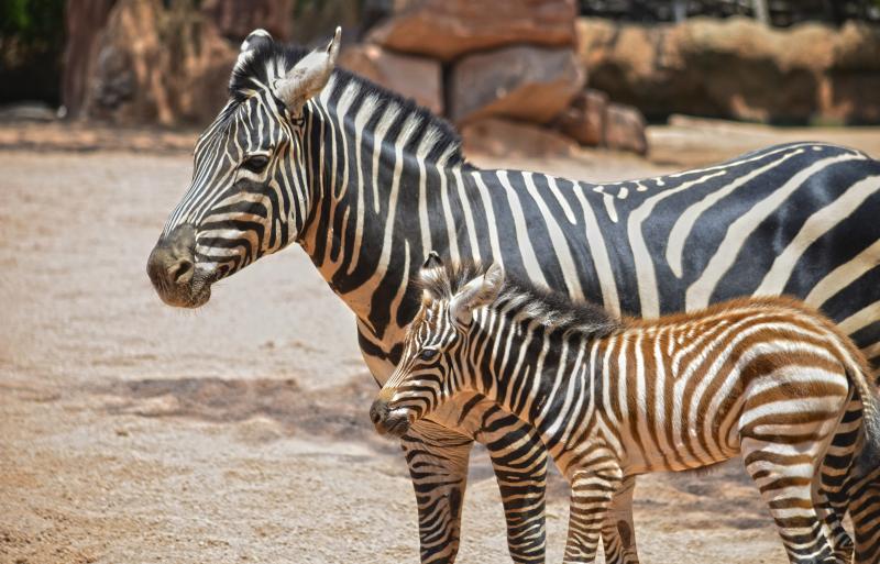 Cebras en la Sabana - madre y potro nacido 10 julio - verano 2018 - BIOPARC Valencia