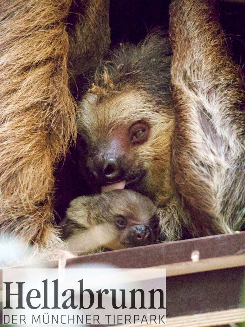 5_Sloth Baby_Hellabrunn_2018_MartinaOefelein