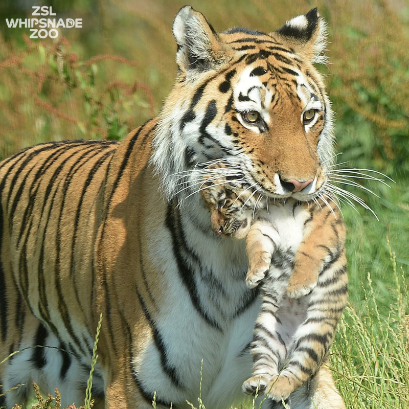 Amur Tiger Mum Takes Cubs for First Outing - ZooBorns