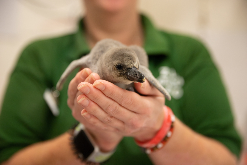 4_Rainbow the penguin chick at ZSL London Zoo (c) ZSL (8)