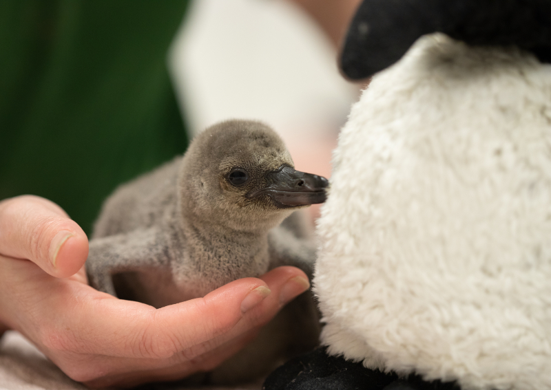6_Rainbow the penguin chick at ZSL London Zoo (c) ZSL (4)
