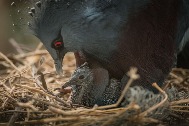 2_Victoria crowned pigeon chick on the nest with mum just days after hatching at Chester Zoo (11)