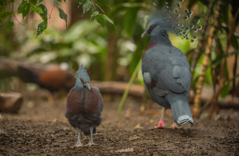 5_World's BIGGEST pigeon hatches at Chester Zoo (5)