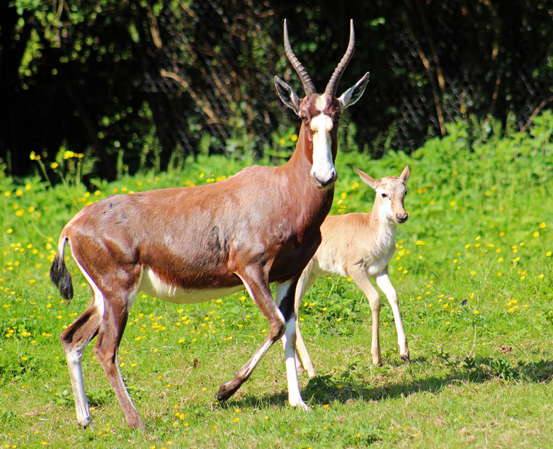 (1)  Belfast Zoo is celebrating the birth of a blesbok calf!