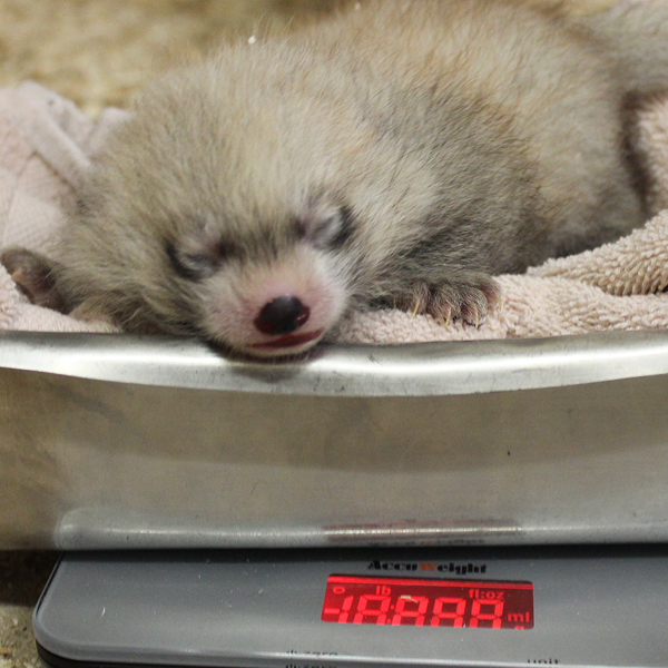 2018_animal_red_panda_cub2