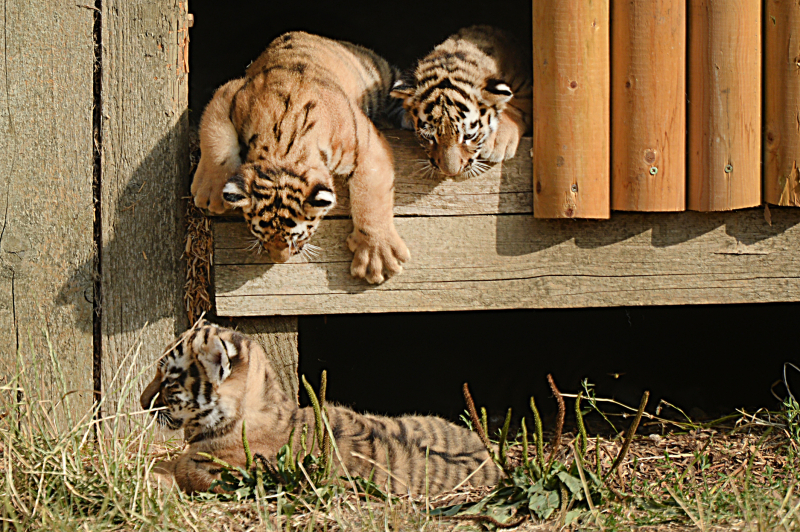 2_Mum Naya and her cubs (5)