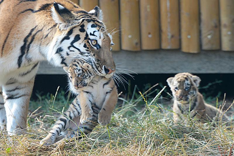8_Mum Naya and her cubs (3)