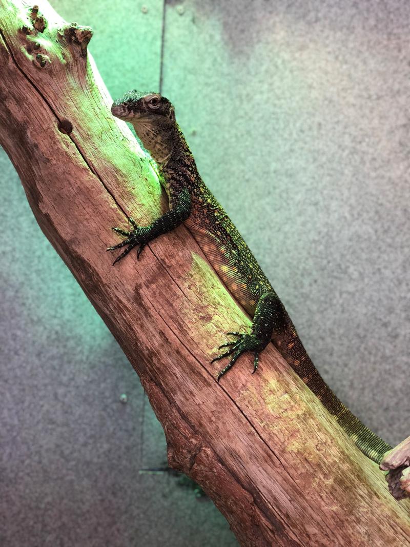 1_Baby Komodo Pic 4