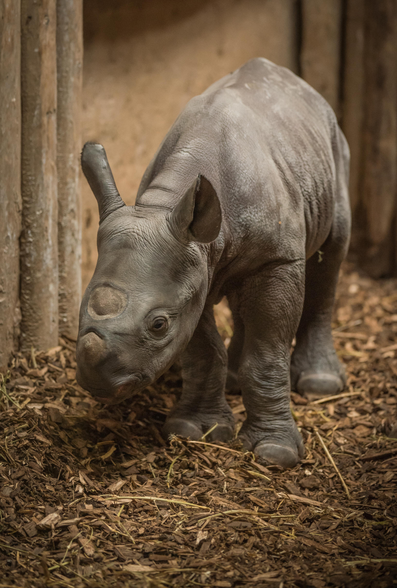 1_Baby black rhino birth catches visitors by surprise at Chester Zoo (11)
