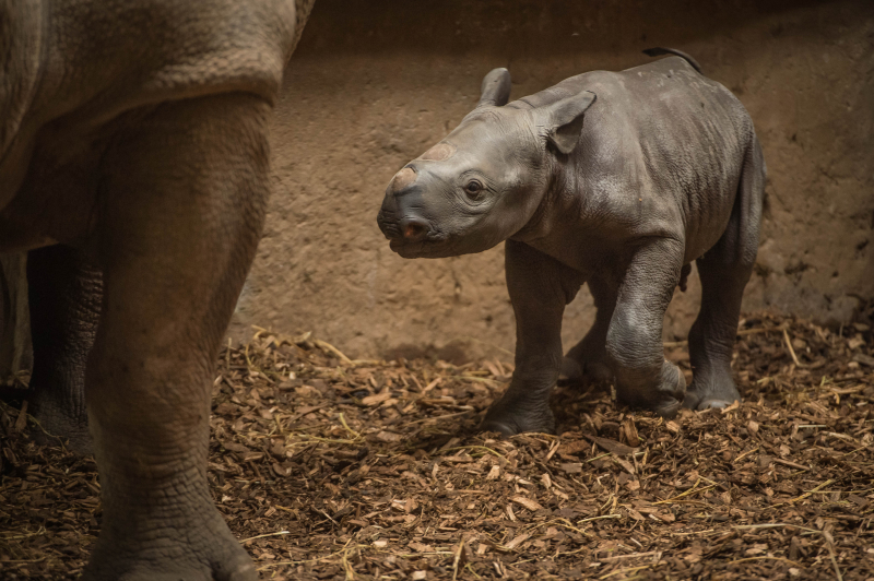 2_Baby black rhino birth catches visitors by surprise at Chester Zoo (5)