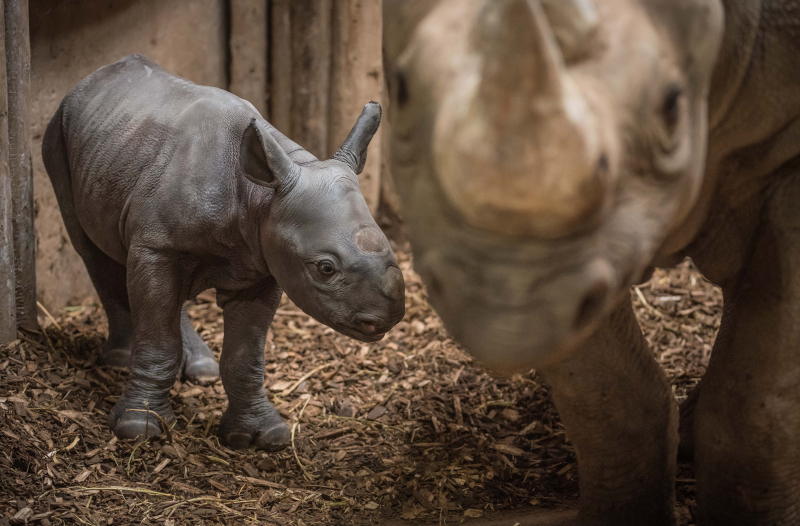 4_Baby black rhino birth catches visitors by surprise at Chester Zoo (13)