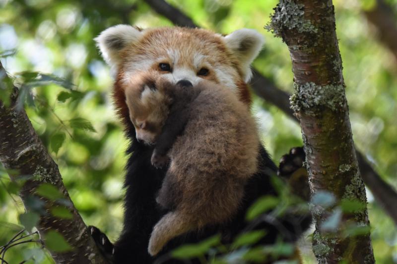 Red Panda Kit 3 weeks old 3 - credit Alyson Houston