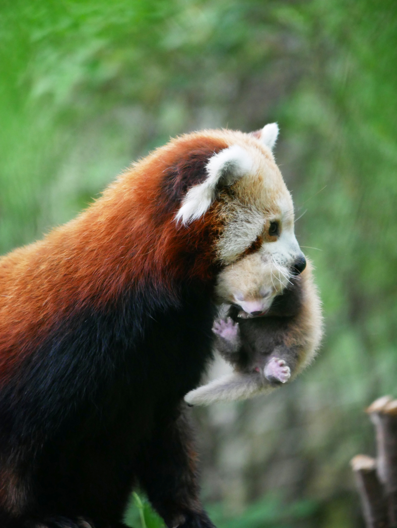 Red Panda Kit 3 weeks old 1 - credit Corinne Pardey