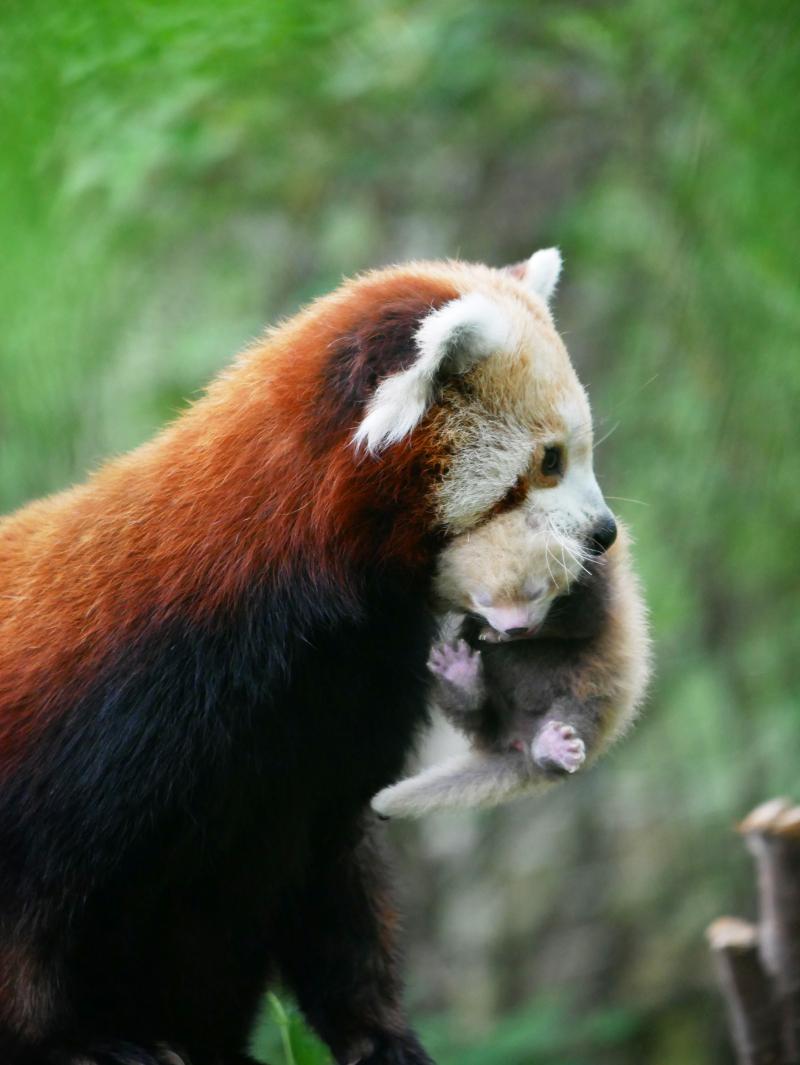 Red Panda Kit 3 weeks old 1 - credit Corinne Pardey