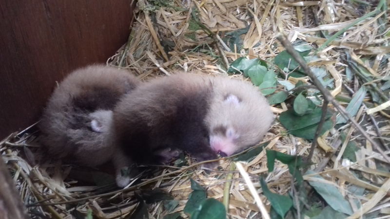 Red Panda Kits 6 Day old kits - credit Una Richardson