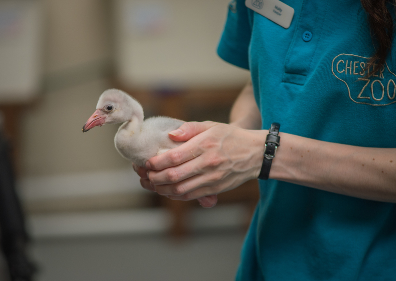 !Pretty in pink! Chester Zoo welcomes new flamingo chicks (11)