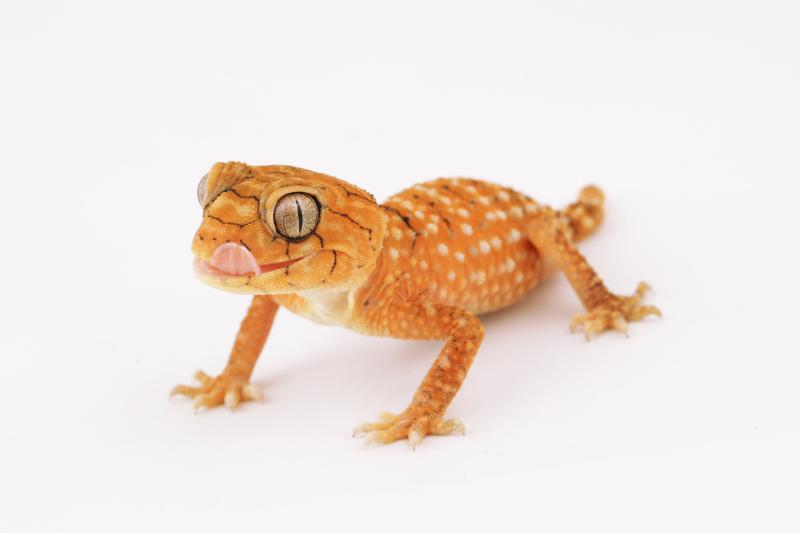 6_SZ - Knob-tailed Gecko young_WRS