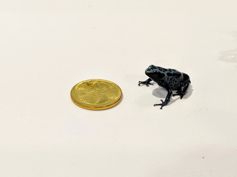 8_SZ - Dyeing Poison Frog young_WRS