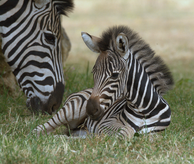 1_Zebra foal 2018 Cotswold Wildlife Park (photo credit Jackie Thomas) (1a)