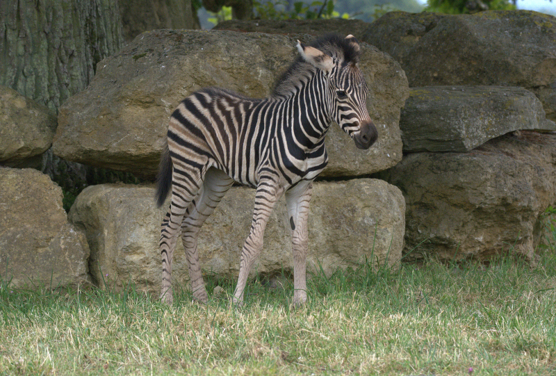 4_Zebra foal 2018 Cotswold Wildlife Park (photo credit Jackie Thomas) (10)