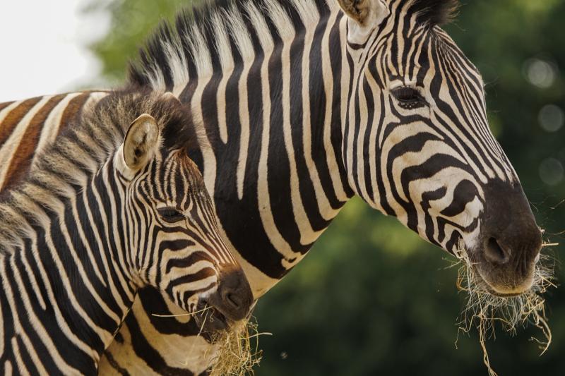 7_Zebra foal with mum Stella (eating hay)