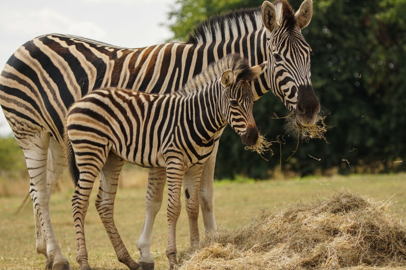 8_Zebra foal eating hay with mum Stella (1)