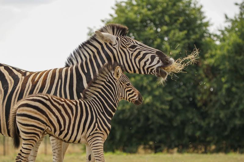 9_Zebra foal eating hay with mum Stella (3)