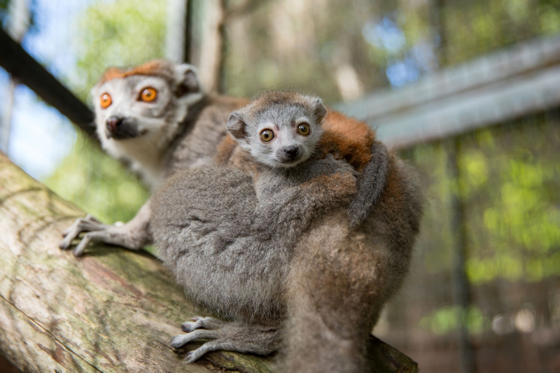 2_Crowned Lemur