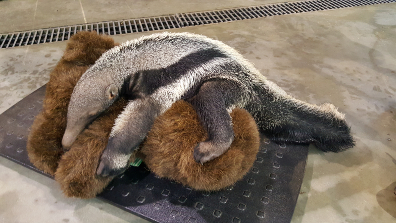 1_baby anteater on scale for first time
