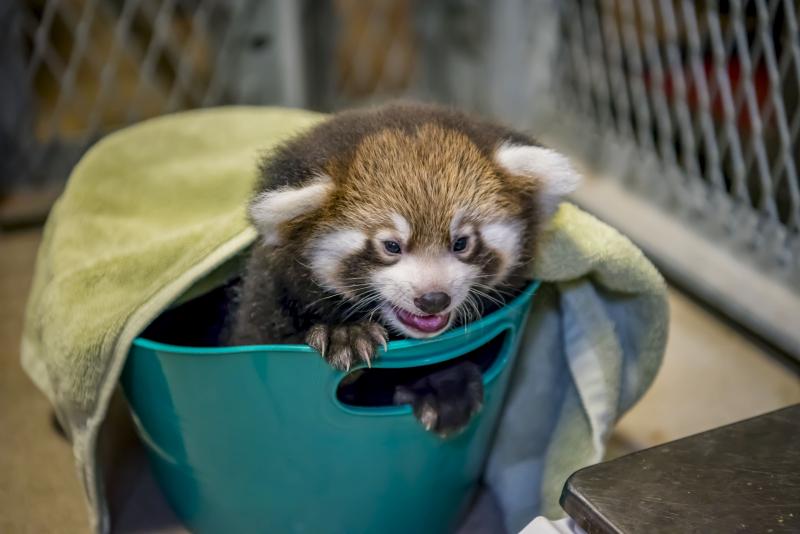 Red Panda Baby 08-2018-3438 E