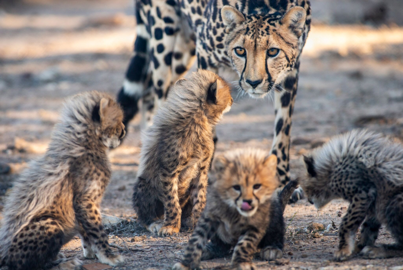 2_CheetahCubs2