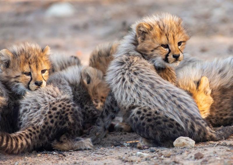 3_CheetahCubs