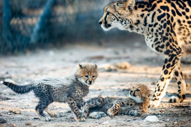 9_CheetahCubs7