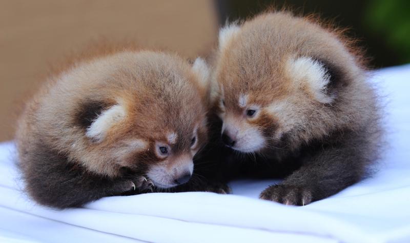 1_baby red pandas