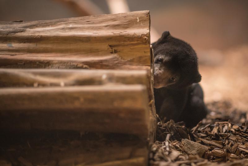 UK's first baby sun bear named Kyra (4)