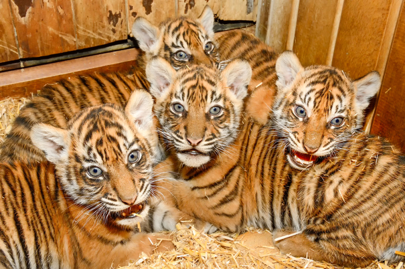 1_Tiger-Vierlinge in der Wurfhöhle_Tierpark Berlin_2018