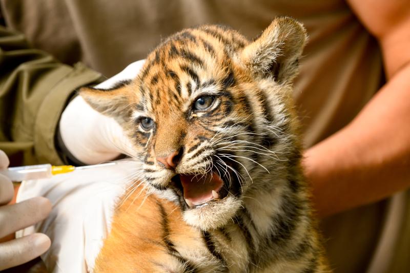 sumatran tiger cubs have first big vet check zooborns. Black Bedroom Furniture Sets. Home Design Ideas